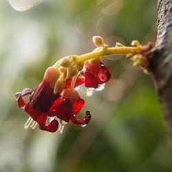 ดอกตะลิงปลิง