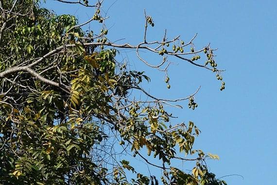 ต้นมะกอก