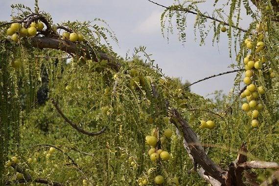 ต้นมะขามป้อม