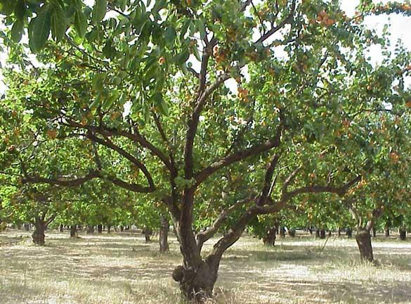 ต้นแอปริคอต