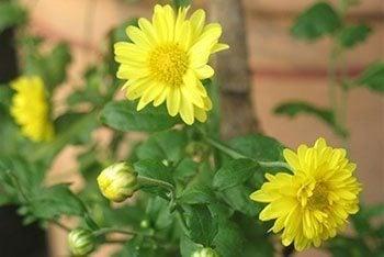 Chrysanthemum-1