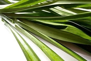 Pandan-Leaves-1