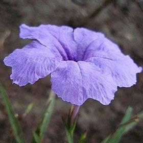 ดอกต้อยติ่ง