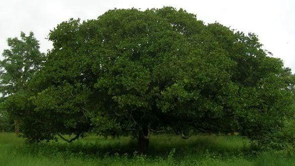 ต้นมะม่วงหิมพานต์