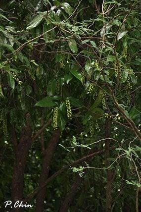ต้นมะเม่า