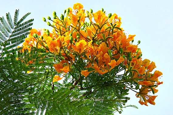 ดอกหางนกยูงฝรั่งสีเหลือง