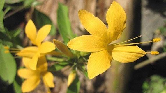 ดอกอังกาบเหลือง