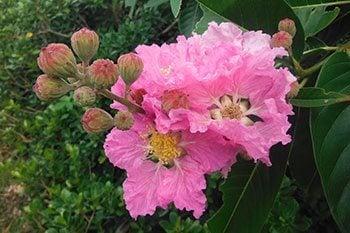 ดอกอินทนิลน้ำ