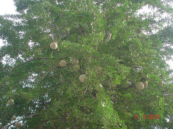 ต้นมะขวิด