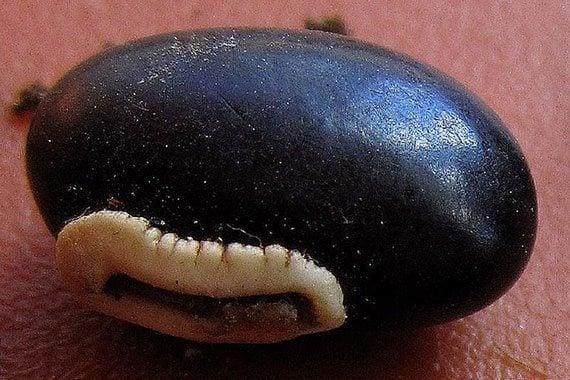 เมล็ดถั่วดำ