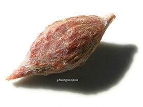 เมล็ดพุทราจีน