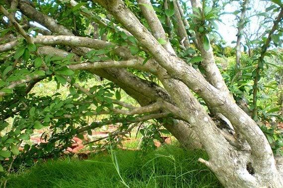 ต้นน้ำเต้าญี่ปุ่น
