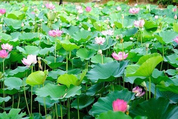 Image result for บัวหลวง