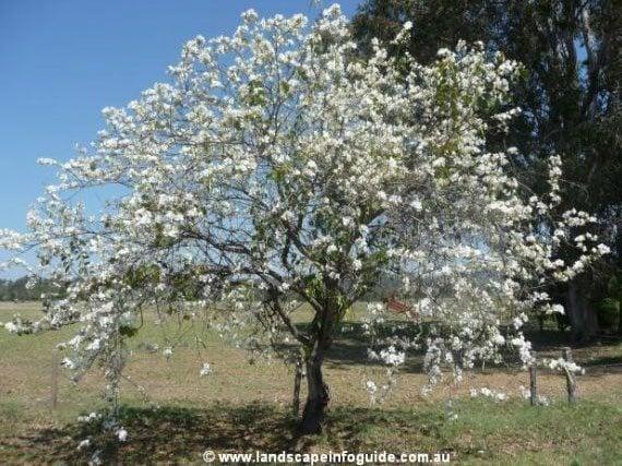 ต้นเสี้ยวดอกขาว