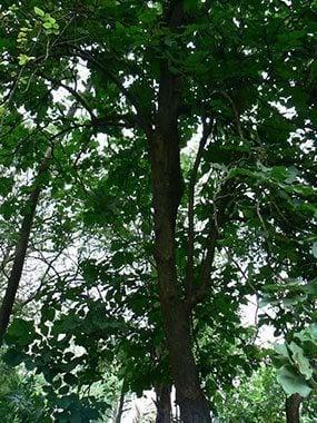 ต้นแคบิด