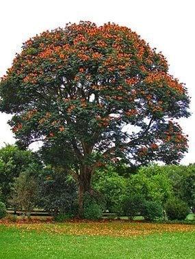 ต้นแคแดง