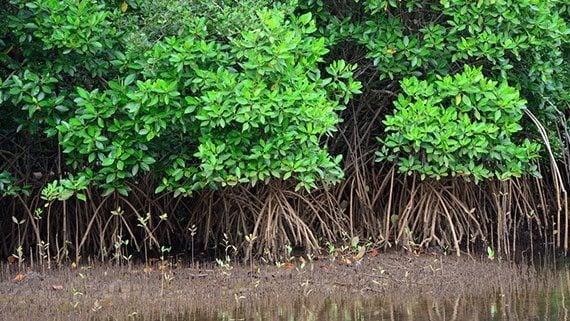 ต้นโกงกาง