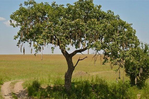 ต้นไส้กรอกแอฟริกา
