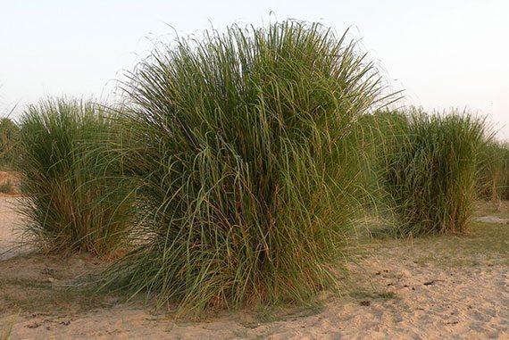 หญ้ากุศะ