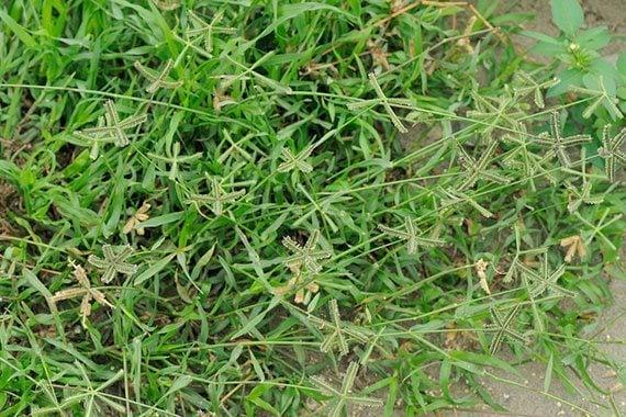 หญ้าปากคอก