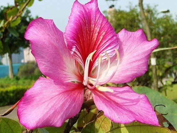 เสี้ยวดอกขาวดอกสีชมพู