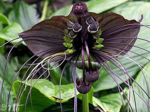 ดอกเนระพูสีไทย