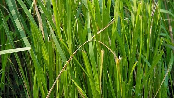 ใบหญ้าคา