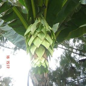 ดอกกล้วยนวล