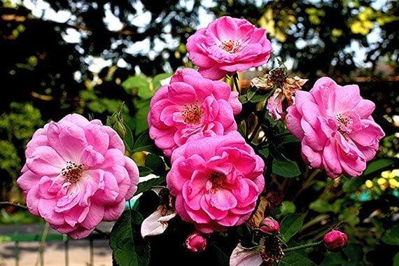 ดอกกุหลาบมอญ