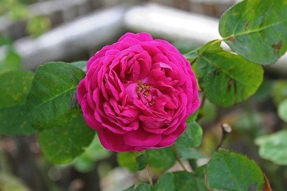 ดอกยี่สุ่น