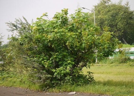 ต้นทรงบาดาล