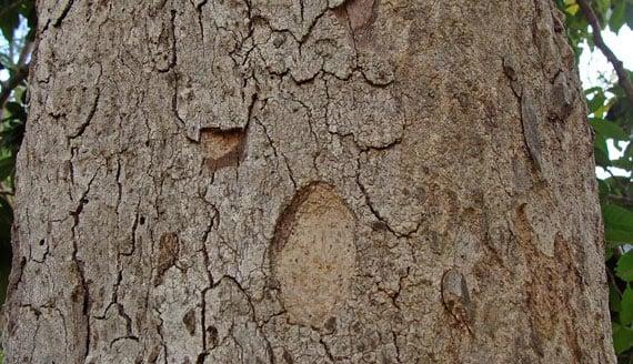 รูปต้นตะคร้อ