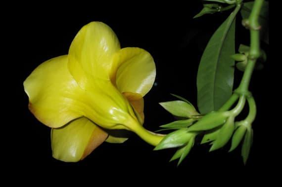 ดอกบานบุรีเหลือง