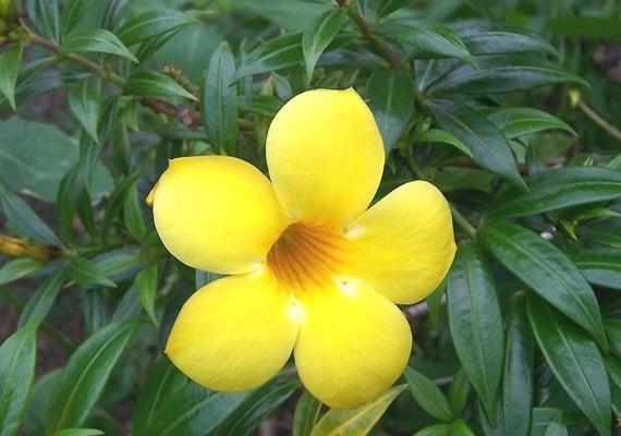 ดอกบานบุรี