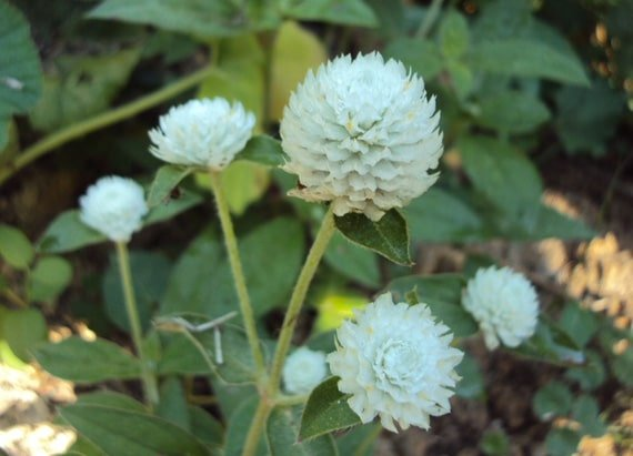 ดอกบานไม่รู้โรยสีขาว