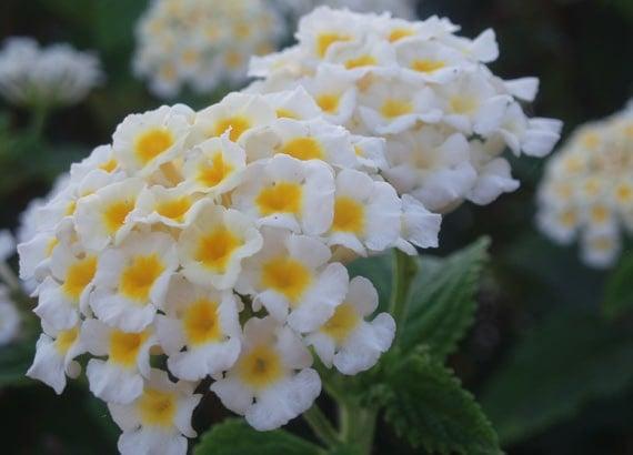 ดอกผกากรองขาว