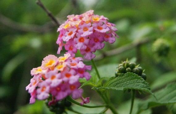 ดอกผกากรองสีชมพู