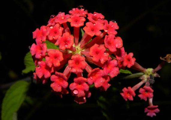 ดอกผกากรองสีแดง