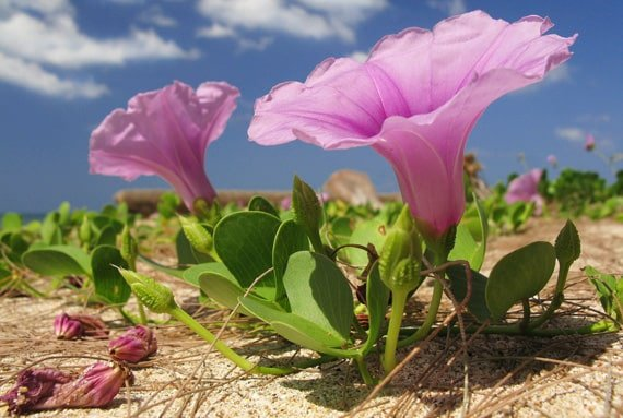 ดอกผักบุ้งทะเล