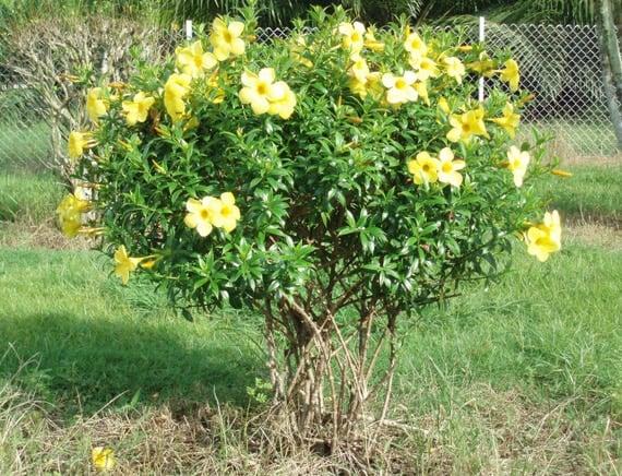 ต้นบานบุรีเหลือง