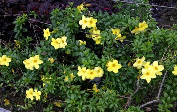 บานบุรีสีเหลือง