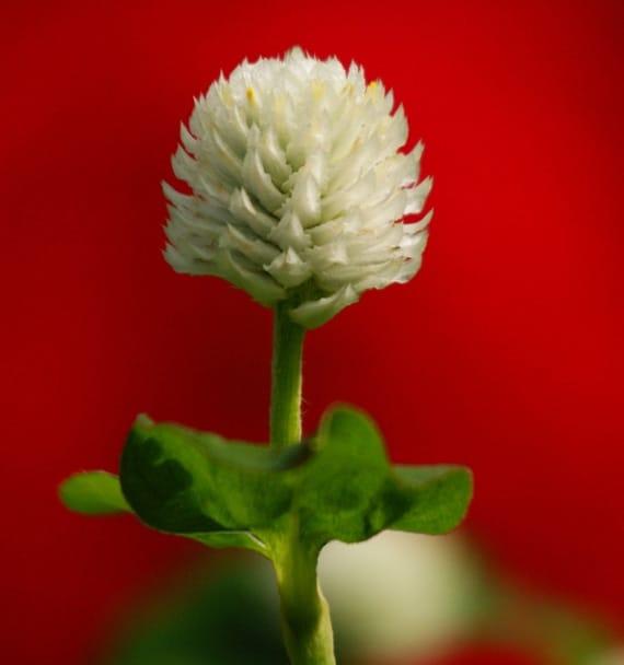 บานไม่รู้โรยดอกสีขาว