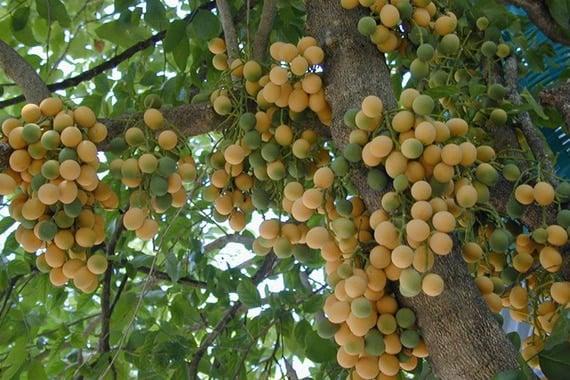 ผลผักหวานป่า