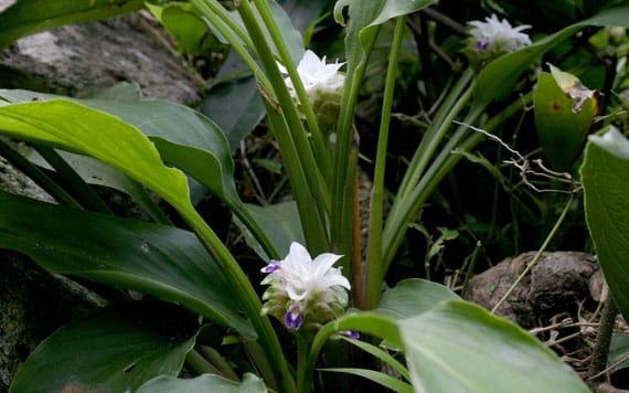 รูปดอกกระเจียวขาว