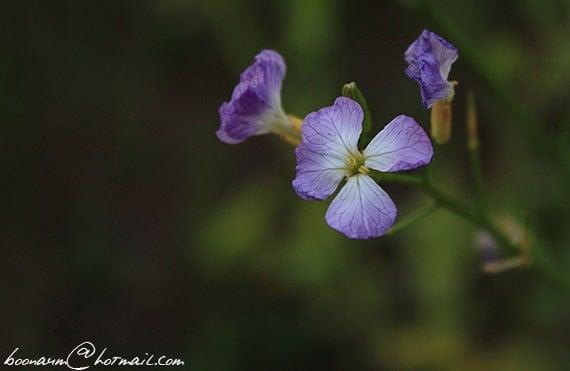 รูปดอกผักขี้หูด