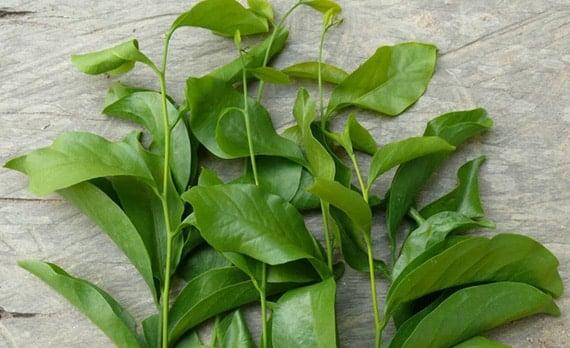 ใบผักหวานป่า