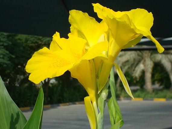 ดอกพุทธรักษาสีเหลือง