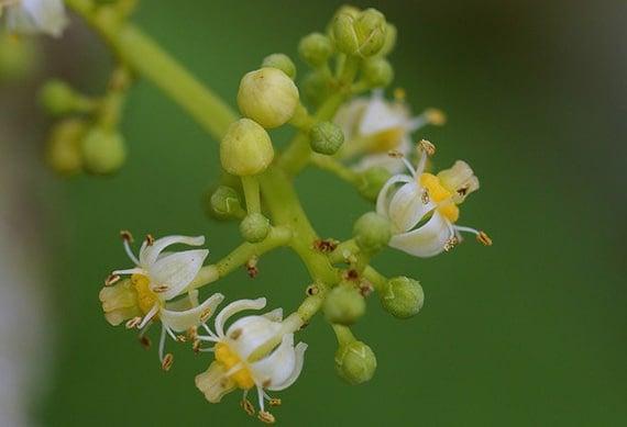 ดอกมะกอกฝรั่ง