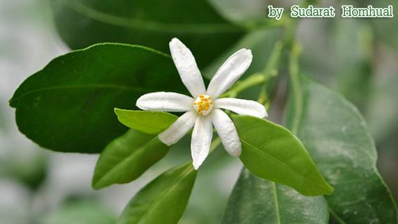 ดอกมะนาวผี