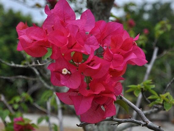 ดอกเฟื่องฟ้าสีชมพู